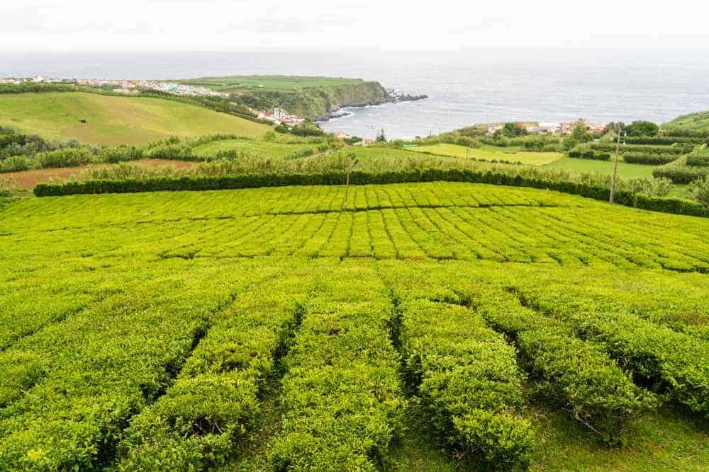 Gorreana Teeplantage Azoren Sehenswürdigkeiten - Die 22 besten Attraktionen